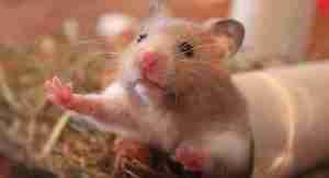 que pueden comer los hamster